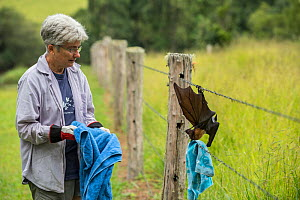 Tolga Bat Hospital director Jenny Maclean rescuing, Spectacled flying fox (Pteropus conspicillatus) caught in barbed wire fence.  Atherton Tablelands, Queensland, Australia. April 2015. Second Place i... - Jurgen Freund