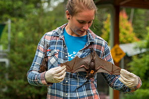 Tolga Bat Hospital volunteer handing Little red flying fox (Pteropus scapulatus) baby as it flaps her wings, Tolga Bat Hospital, Atherton Tablelands, Queensland, Australia. May 2015. Second Place in t...  -  Jurgen Freund