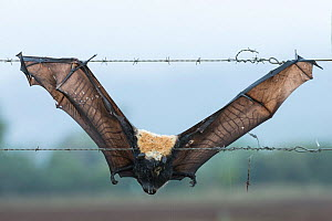 Spectacled flying fox (Pteropus conspicillatus) dead after getting trapped on barbed wire fence. Atherton Tablelands, Queensland, Australia. May. Second Place in the Man and Nature portfolio category... - Jurgen Freund