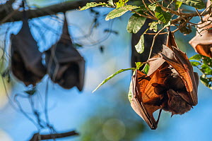 Little red flying fox (Pteropus scapulatus) roosting with baby, Atherton Tablelands, Queensland, Australia. May. Second Place in the Man and Nature portfolio category of the Terre Sauvage Nature Image...  -  Juergen Freund