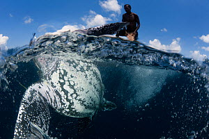 Leatherback turtle (Dermochelys coriacea) hunted by Moluccan man during traditional hunt, Kei Kecil Island, Moluccas, Indonesia  -  Jurgen Freund