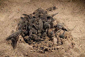 Leatherback turtle (Dermochelys coriacea) baby hatchlings coming out of their nest. Jamursbamedi, West Papua, Indonesia.  -  Juergen Freund