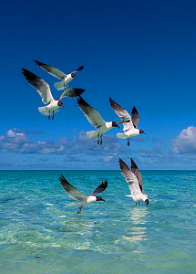 Laughing gulls (Leucophaeus atricilla) flying and feeding over the sea, Bahamas.  -  Klein & Hubert
