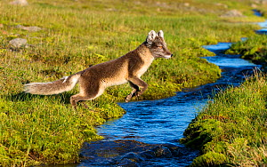 Arctic fox (Alopex lagopus) leaping over tundra stream, Svalbard, Norway, July. - Klein & Hubert