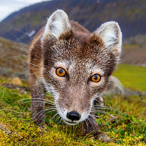 Arctic fox (Alopex lagopus) close up in tundra, Svalbard, Norway, July.  -  Klein & Hubert