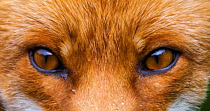 Red fox (Vulpes vulpes) close up of eyes, France, August.  -  Klein & Hubert