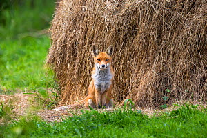 Red fox (Vulpes vulpes) male next to hay stack, France. August. - Klein & Hubert