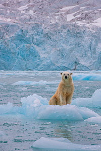 Polar bear (Ursus maritimus) female on iceberg, Svalbard, Norway. August. - Klein & Hubert