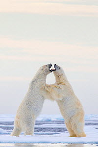 Polar bear (Ursus maritimus) play fighting on ice pair fighting, male on right and female on left, Svalbard, Norway.  -  Klein & Hubert