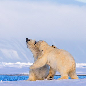 Polar bear (Ursus maritimus) play fighting on ice male biting female on the neck, Svalbard, Norway. - Klein & Hubert