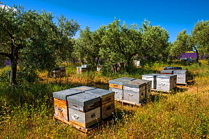 Bee hives with Olive trees (Olea europaea) at the edge of Lavender (Lavendula fields) Provence, France. July 2012.  -  Klein & Hubert
