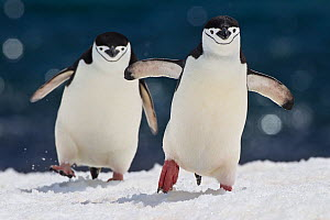 Two Chinstrap penguins (Pygoscelis antarctica) walking in snow, Antarctic Peninsula.  -  Klein & Hubert