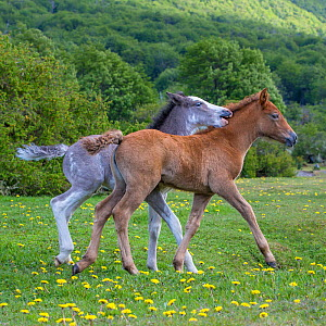 Two semi-wild Criollo foals, a gray sabino colt and a sorrel / chestnut filly, Tierra del Fuego.  -  Klein & Hubert