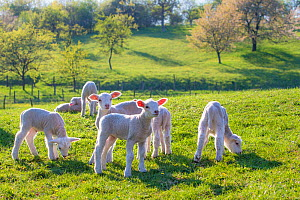 Creche of Romaine / Inra lambs (Ovis aries) playing, France.  -  Klein & Hubert