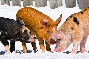 Three piglets (Sus scrofa domestica) Turopolje crossed with Duroc x Bentheimer, age one month, playing in snow, Germany.  -  Klein & Hubert