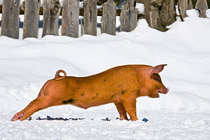 Piglet (Sus scrofa domestica) Turopolje crossed with Duroc x Bentheimer, age one month, stretching in snow. Germany.  -  Klein & Hubert
