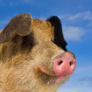 Duroc x Bentheimer domestic pig  boar, portrait. - Klein & Hubert