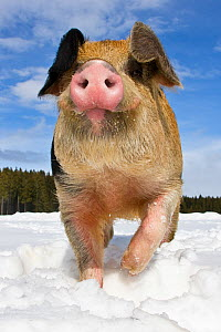 Duroc x Bentheimer domestic pig  boar in snow.  -  Klein & Hubert