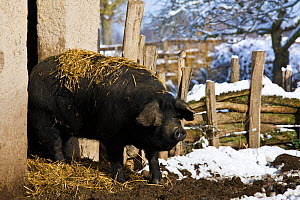 Gascon domestic pig  coming out of stable in to snow farmyard, France.  -  Klein & Hubert
