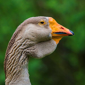 Toulouse domestic goose male portrait, showing the characteristic dewlap of this breed, Germany.  -  Klein & Hubert