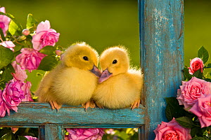 Two Muscovy ducklings (Cairina moschata) on old window frame with pink roses, France.  -  Klein & Hubert