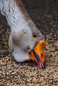 Toulouse domestic goose male feeding, showing the characteristic dewlap of this breed, Germany.  -  Klein & Hubert