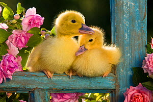 Two Muscovy ducklings (Cairina moschata) in old window frame with pink roses, France.  -  Klein & Hubert