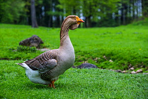 Toulouse domestic goose male walking, showing the characteristic dewlap of this breed, Germany.  -  Klein & Hubert