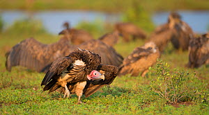 Lappet-faced vulture (Torgos tracheliotus) with White-backed vultures (Gyps africanus) in the background. Greater Kruger National Park, South Africa.  -  Wim van den Heever