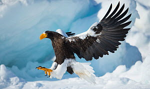 Steller's sea-eagle (Haliaeetus pelagicus) landing on pack ice, Hokkaido, Japan, February. - Wim van den Heever