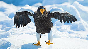 Steller's sea-eagle (Haliaeetus pelagicus) standing on pack ice, Hokkaido, Japan, February. - Wim van den Heever