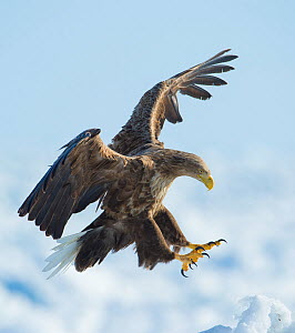 White tailed sea eagle (Haliaeetus albicilla) in flight landing, Hokkaido, Japan, February.  -  Wim van den Heever