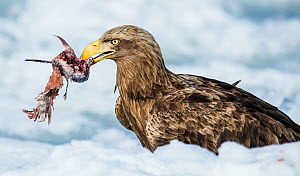White tailed sea eagle (Haliaeetus albicilla) feeding on fish on pack ice, Hokkaido, Japan, February.  -  Wim van den Heever