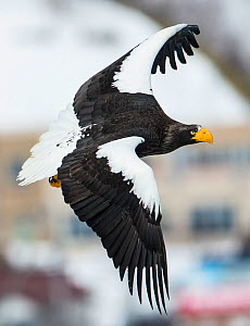 Steller's sea-eagle (Haliaeetus pelagicus) in flight, Hokkaido, Japan, February. - Wim van den Heever