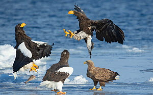 Steller's sea-eagle (Haliaeetus pelagicus) two fighting over fish watched by  White tailed sea eagle (Haliaeetus albicilla) Hokkaido, Japan, February.  -  Wim van den Heever