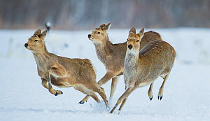 Sika deer (Cervus nippon) three females running and playing in snow. Hokkaido, Japan, March.  -  Wim van den Heever