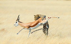 Leopard (Panthera pardus) hunting Springbok (Antidorcas marsupialis) Etosha, Namibia, Finalist in the Mammals Category of the Wildlife Photographer of the Year 2015.  -  Wim van den Heever