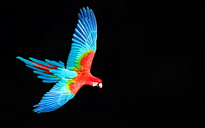 Red-and-green macaw (Ara chloropterus) in flight, Pantanal, Brazil. August.  -  Wim van den Heever