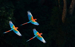 Red-and-green macaw (Ara chloropterus) group of three in flight, Pantanal, Brazil. August.  -  Wim van den Heever