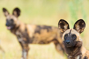 African wilddog (Lycaon pictus) portrait, with another dog in the background. Okavango Delta, Botswana. - Wim van den Heever