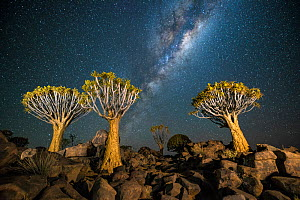 Quiver tree forest (Aloe dichotoma) at night with stars and the milky way, Keetmanshoop, Namibia. - Wim van den Heever