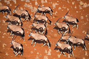 Gemsbok (Oryx gazella) viewed from above, Namib Desert, Namibia.  -  Wim van den Heever