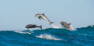 Bottlenosed dolphins (Tursiops truncatus) porpoising during annual sardine run, Port St Johns, South Africa, June. - Wim van den Heever