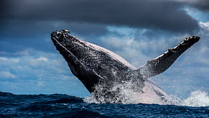 Humpback Whale (Megaptera novaeangliae) breaching during annual sardine run, Port St Johns, South Africa. - Wim van den Heever