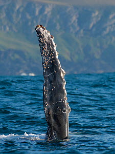 Humpback Whale (Megaptera novaeangliae) rolled onto back with fin out of water during annual sardine run, Port St Johns, South Africa. June.  -  Wim van den Heever