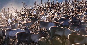 Herd of domesticated Reindeer (Rangifer tarandus)  moving around, Norway, September. - Pal Hermansen