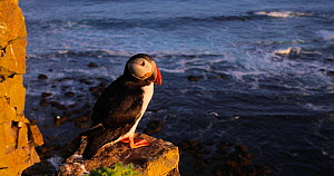 Atlantic puffin (Fratercula arctica) perched on a cliff, looking around and preening, Latrabjarg Iceland, June. - Pal Hermansen