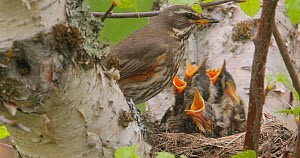 Redwing (Turdus iliacus) feeding chicks at nest and removing a fecal sac, Iceland, June. - Pal Hermansen