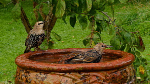 Juvenile Common starlings (Sturnus vulgaris) and House sparrows (Passer domesticus) landing at and bathing in a birdbath before taking off, Somerset, England, UK, October.  -  Michael W. Richards