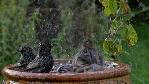 Common starlings (Sturnus vulgaris) and House sparrows (Passer domesticus) landing at and bathing in a birdbath before taking off, Somerset, England, UK, October.  -  Michael W. Richards